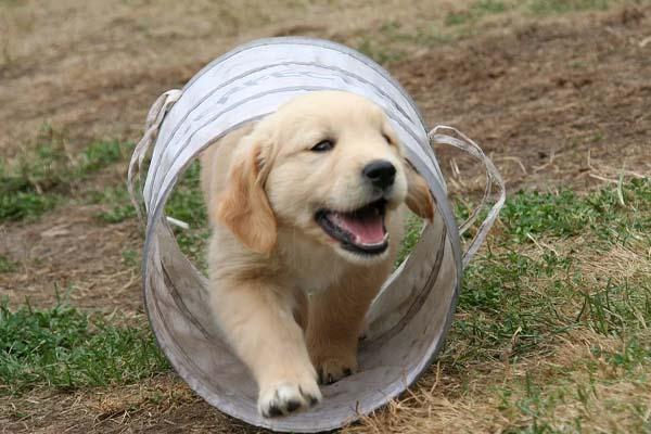 Il cucciolo di Golden Retriever gioca in una piscina coperta (video)