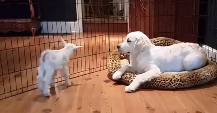 Cucciolo di Golden Retriever che gioca con una capretta
