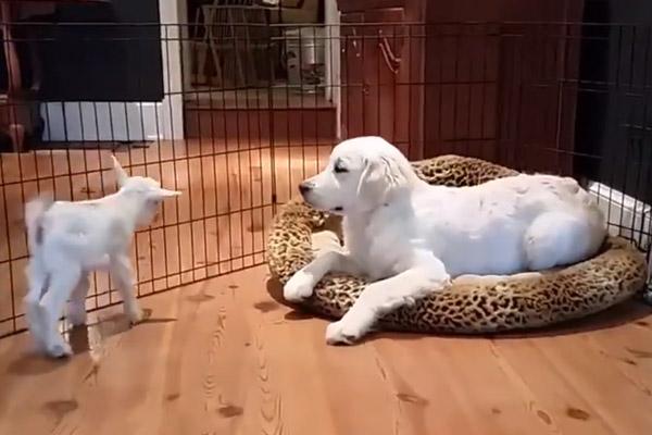 Il cucciolo di Golden Retriever incontra una capretta e il video conquista il web