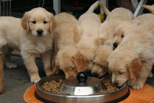 Cuccioli di Golden Retriever che mangiano