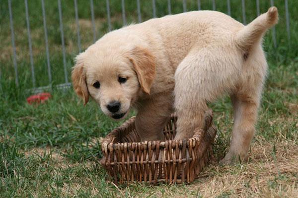 Il cucciolo di Golden Retriever si trasforma in un alpinista per salire sul divano (video)