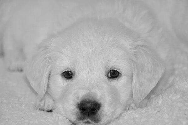 Il cucciolo di Golden Retriever si trasforma in un alpinista per salire sul divano
