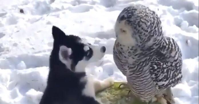 Il cucciolo di Husky e il gufo si lasciano andare ad un momento di coccole (video)