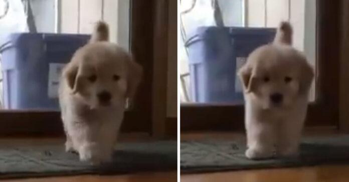Cucciolo di Golden Retriever che cammina