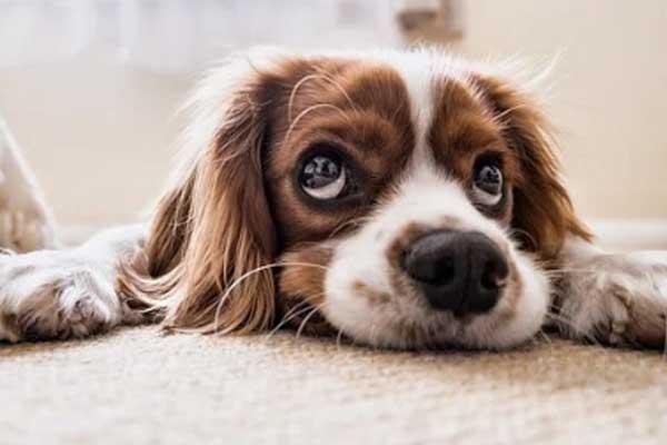 Cagnolino che osserva