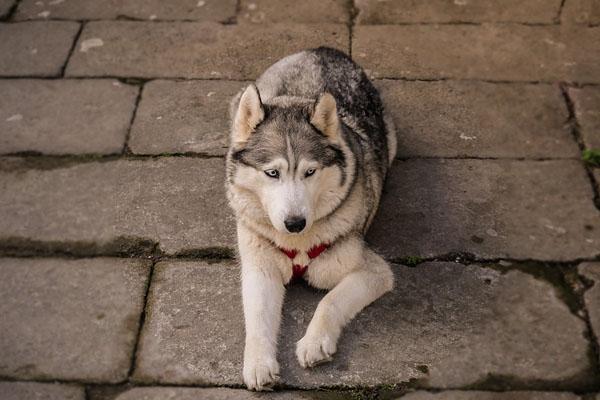 Luka, l'Husky salvato da un fattorino che stava consegnando un pacco
