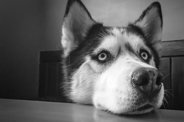 Husky che osserva