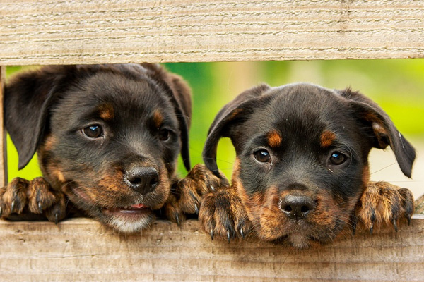 Cagnolini che osservano