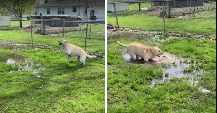 Labrador che balla nelle pozzanghere