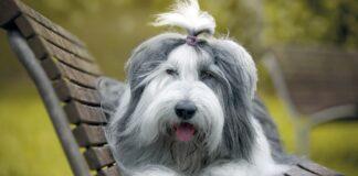 cane bobtail con codino