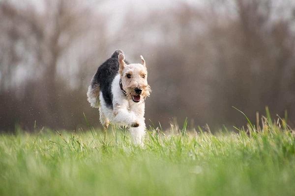 cane che corre felice