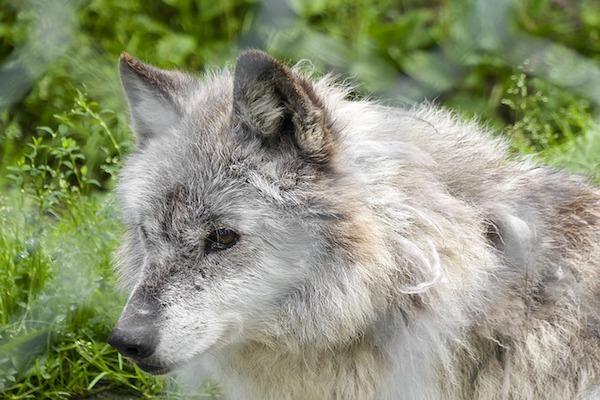 American Wolfdog, curiosità su questa razza non riconosciuta (ma bellissima)