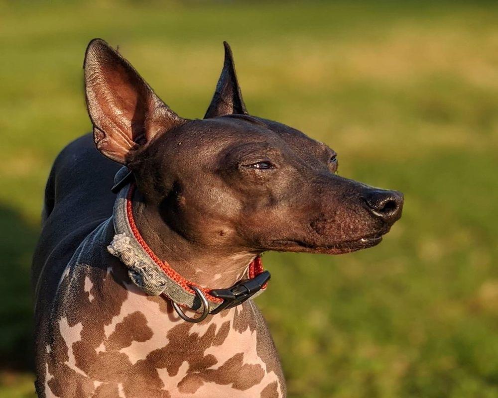 American Hairless Terrier, foto e immagini bellissime del cane nudo