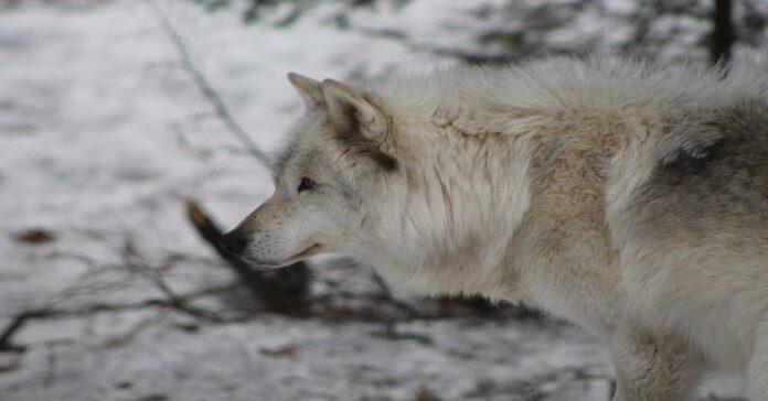 american wolfdgo curiosità su cane-lupo