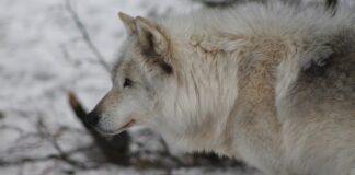 cane e lupo caratteri comuni