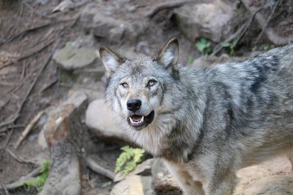 cane o lupo?