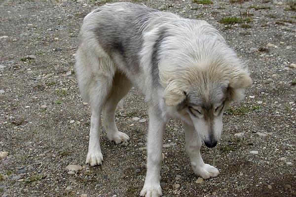 cane-lupo bianco e grigio
