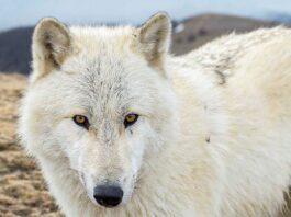 american wolfdog con sguardo intenso
