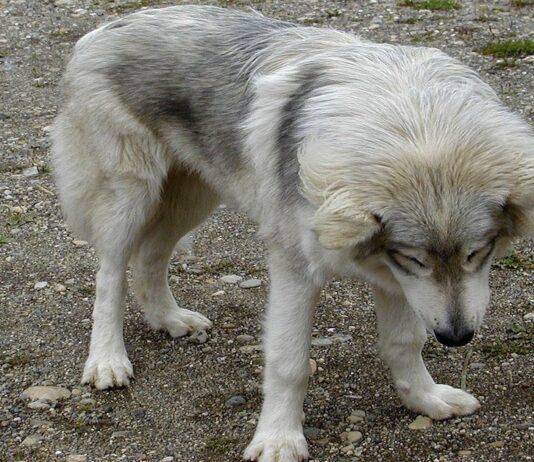 american wolfdog quale dieta ideale