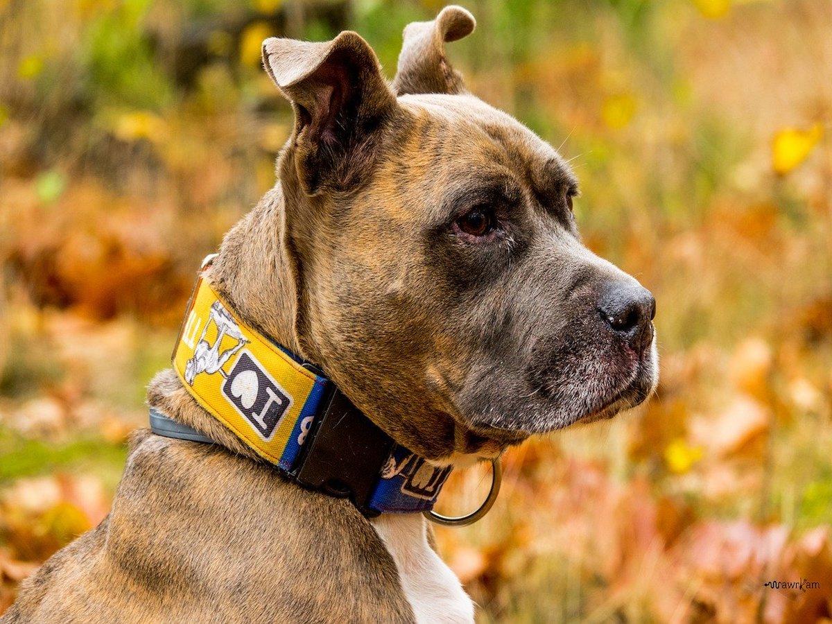 Amstaff: carattere, indole e temperamento: cosa sapere su questo cane
