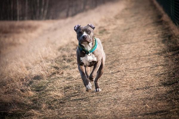 amstaff prova a correre