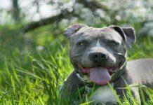 la storia del cane amstaff