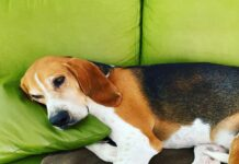 cane che si addormenta rilassato