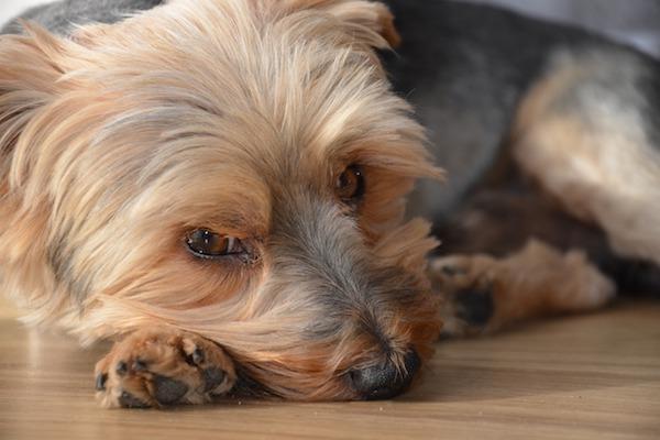 Autolesionismo delle zampe del cane: cosa la causa e che cosa fare