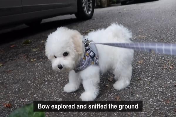 Barboncino esce per fare la prima passeggiata (VIDEO)