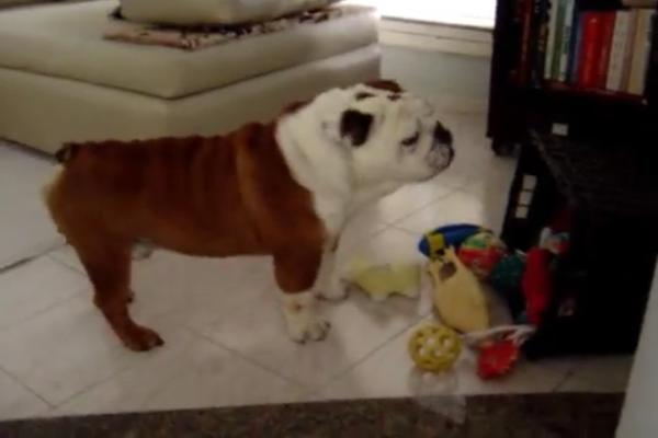 Un dolcissimo Bullsog vuole giocare con i suoi giochi (VIDEO)