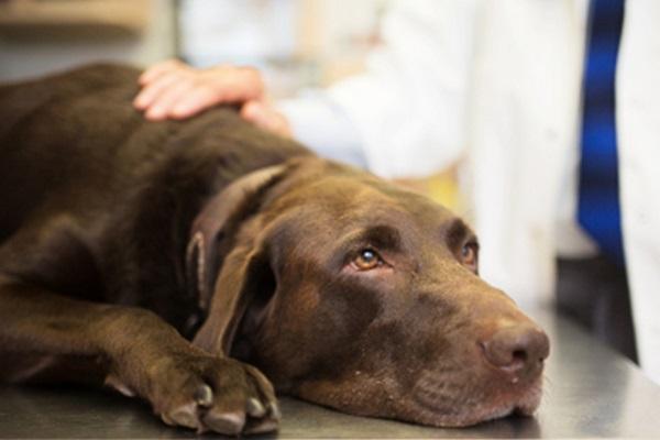 Cane anziano che barcolla: che cosa può significare e come aiutarlo