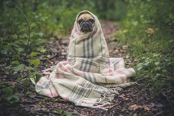 cane carlino con coperta
