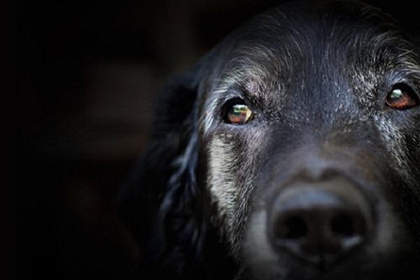 cane nero anziano