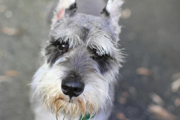 cane con barbetta
