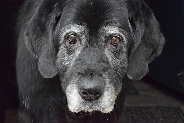 cane anziano nero