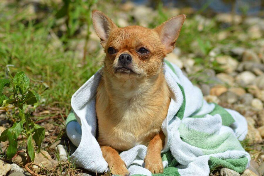 chihuahua con una coperta