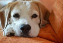 muso del cane gonfio