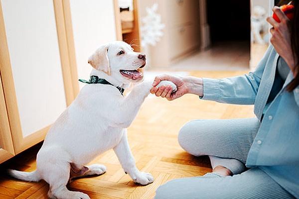 cucciolo di labrador dà la zampa