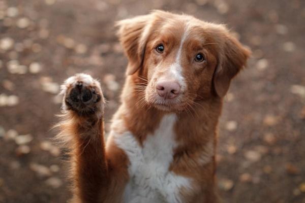 cane marrone e bianco che dà la zampa