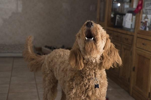 cane a casa che abbaia
