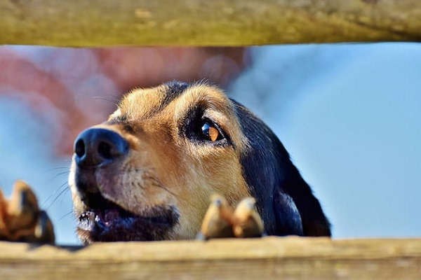 cane che ulula dietro staccionata