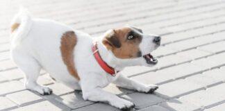 cane jack russell arrabbiato