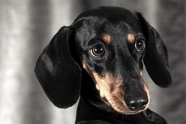 Razze di cani che combattono la depressione: tutti i quattrozampe migliori