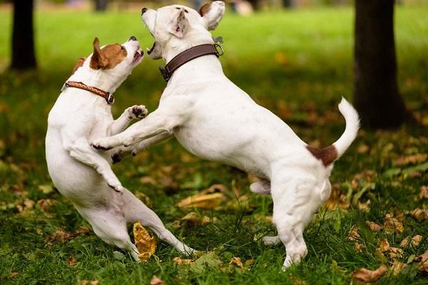 Razze di cani che litigano di più fra loro: ecco quali sono