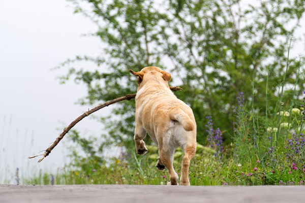 cane che gioca con bastone