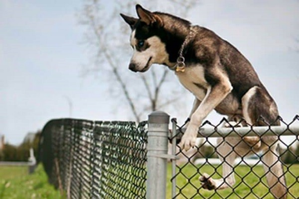 cane che scavalca recinto
