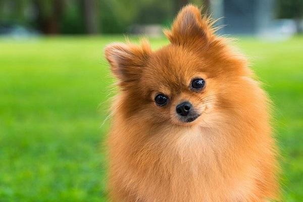 cane volpino di pomerania
