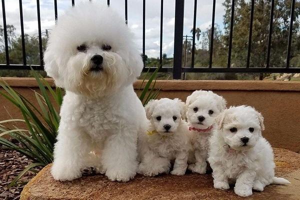 mamma e cuccioli di cane bichon frise