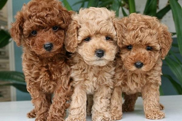 tre cani barboncini