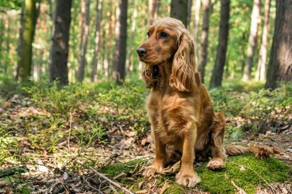 Cani da caccia agli uccelli: quali sono? Elenco di tutte le razze adatte